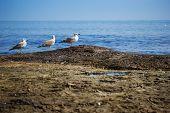 Three Seagulls Standing On The Sea Shore