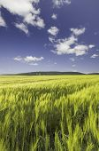 Wheat Field Under A Blue Cloudy Sky And Mountain Range On The Horizon