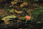 Tarzetta Rosea ( Rea) Dennis mushroom