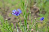 Blue Flower Of A Cornflower In A Garden