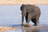 Elephant Walking In Water To Have A Drink And Cool Down On Hot Day