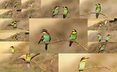 Collage Of Bee-eater Birds