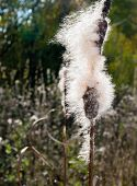 stock photo of cattail  - Dry Cattail  - JPG