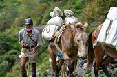 Caravan Of Donkeys Carrying Supplies In The Himalayas