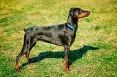Black Doberman Dog On Green Grass Background