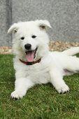 Beautiful Puppy Of White Swiss Shepherd Dog Lying