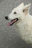 Amazing White Swiss Shepherd Dog