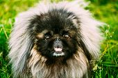 Pekingese Pekinese Peke Dog Resting On Grass