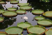 Santa Cruz waterlily flower and leaves