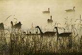 Canada Geese Pond Silhouette