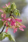 Pink Winged Maple Tree Seeds - Acer circinatum