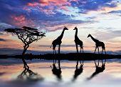 giraffes backlit at sunset