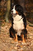 Beautiful Bernese Mountain Dog Sitting In Autumn Forest