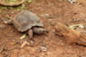 Blurred Tortoise Crawling