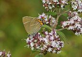 White-letter Hairstreak Butterfly - Satyrium w-album