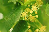 blossoming linden