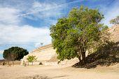 Monte Alban Oaxaca Tree Next To Pyramid