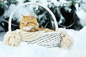 Red cat in wicker basket with scarf in winter time on fir tree background