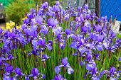 Purple Iris in the Country