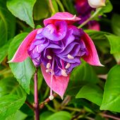 Beautiful Vibrant Pink, Red Fuchsia Flower On The Nature Green Backgroud, `kathy's Sparkler`, Closeu