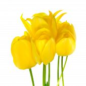 Beautiful Bouquet Of Spring Yellow Tulips Flower Is Isolated On White Background