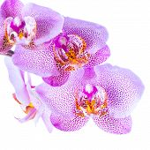 Beautiful Twig Pointed Lilac Orchid Phalaenopsis Is Isolated On White Background, Closeup