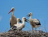 White stork and chicks