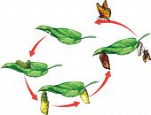 image of biodiversity  - Vector illustration of monarch butterfly life cycle - JPG