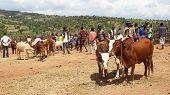 Cattle Market, Key Afer, Ethiopia, Africa
