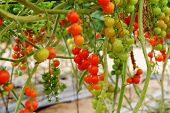 picture of vines  - Cherry tomatoes growing on the vine close - JPG