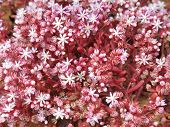 Pink flowers of the succulent blue stonecrop Sedum caeruleum