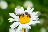 picture of sucking  - Bees sucking nectar from a daisy flower - JPG