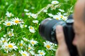 stock photo of sucking  - Macro photographer photographing bee sucking nectar from daisy flower in spring meadow - JPG