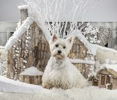 picture of west highland white terrier  - West Highland White Terrier in front of a Christmas scenery - JPG