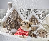 Shih Tzu in front of a Christmas scenery