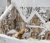image of ferrets  - Ferret in front of a Christmas scenery - JPG