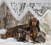 Dachshunds in front of a Christmas scenery