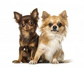 Two chihuahuas