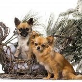 Two chihuahuas in front of a Christmas scenery