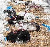 Sled Dogs Sleep At Checkpoint Between Legs