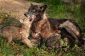 Black Wolf (canis Lupus) Feeds Her Pups And Gets Licked