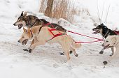 Sled Dogs Race Up Embankment