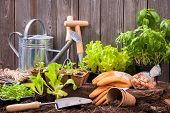 foto of plant pot  - Seedlings of lettuce with gardening tools outside the potting shed - JPG