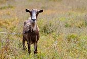 funny goat in the middle of pasture