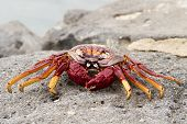 foto of crustations  - Red Sally Lightfoot crabs on a rock - JPG