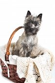 Cairn terrier puppy posing in a basket.