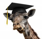 foto of crazy hat  - Funny picture of a giraffe who just graduated university - JPG