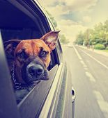 stock photo of bull-riding  - a cute pit bull boxer mix riding in a car toned with a retro vintage instagram filter effect app - JPG