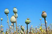 stock photo of opiate  - Poppy heads in field on sunny day - JPG