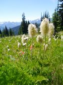 Alpine Flowers in Manning Park BC